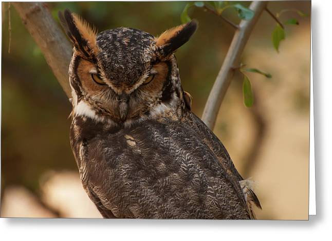 Great Horned Owl In A Tree 2 Greeting Card by Chris Flees