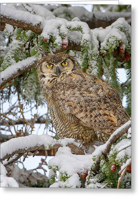 Great Horned Owl In Snow Greeting Card by Jack Bell