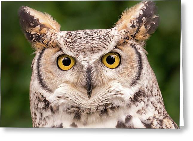 Great Horned Owl, Northern Color Variant Greeting Card