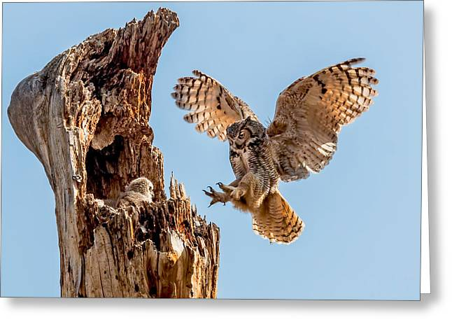 Great Horned Owl Returning To Her Nest Greeting Card by Dawn Key