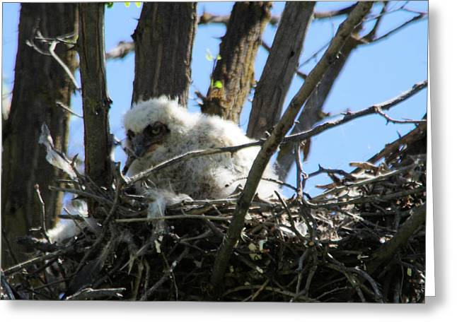 Great Horned Owlet Greeting Card by Jeff Swan