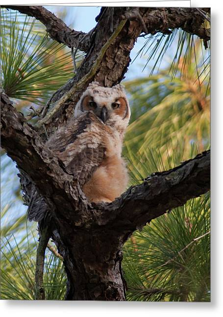Great Horned Owlet Greeting Card by Paul Rebmann