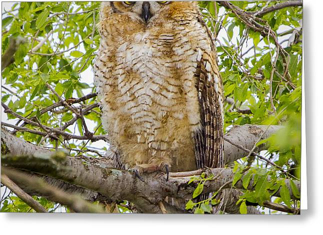 Great Horned Owlet Greeting Card by Ricky L Jones