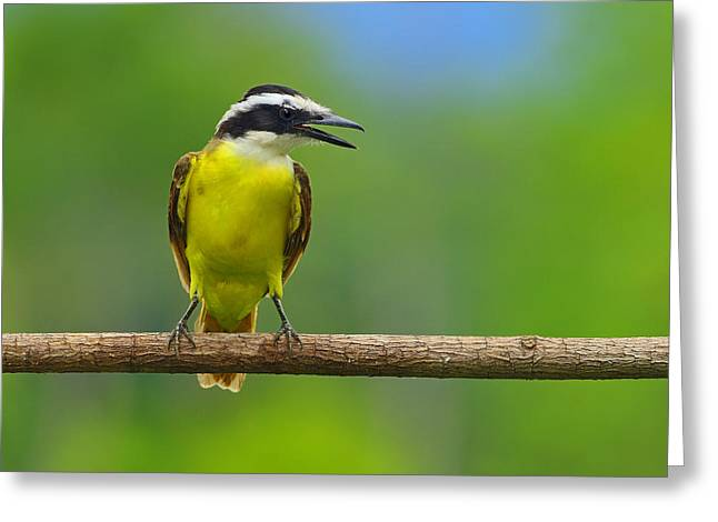 Great Birds Greeting Cards - Great Kiskadee Greeting Card by Tony Beck