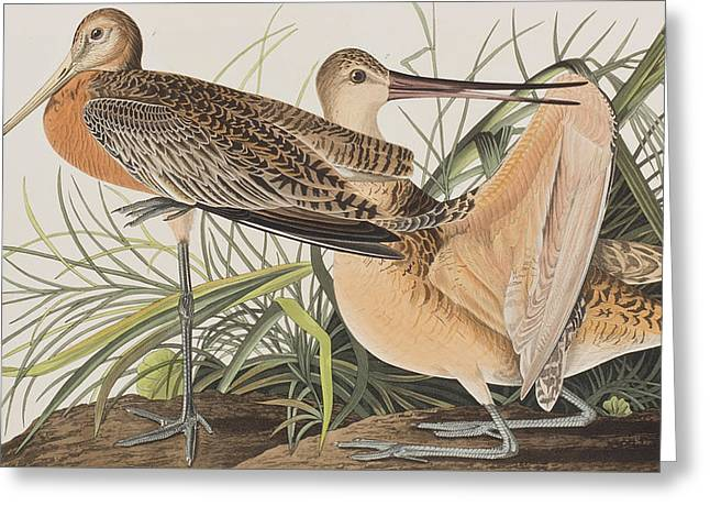Great Marbled Godwit Greeting Card by John James Audubon