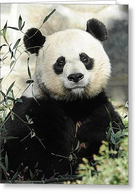 Great Panda II Greeting Card
