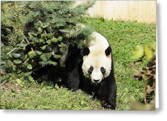 Great Panda Iv Greeting Card by Keith Lovejoy