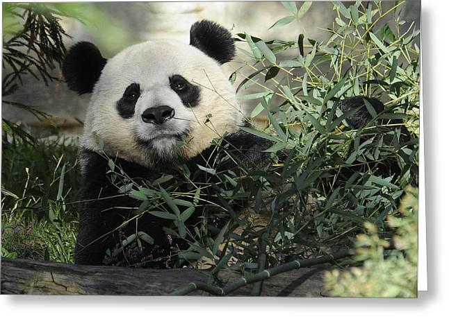 Great Panda Greeting Card by Keith Lovejoy