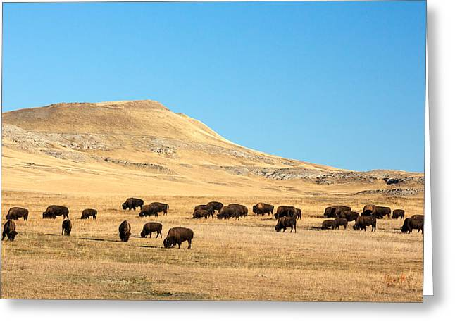 Great Plains Buffalo Greeting Card by Todd Klassy