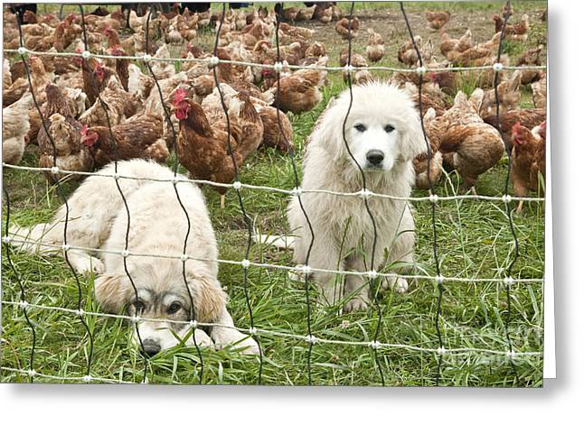 Great Pyrenees Pups Guard Chickens Greeting Card by Inga Spence