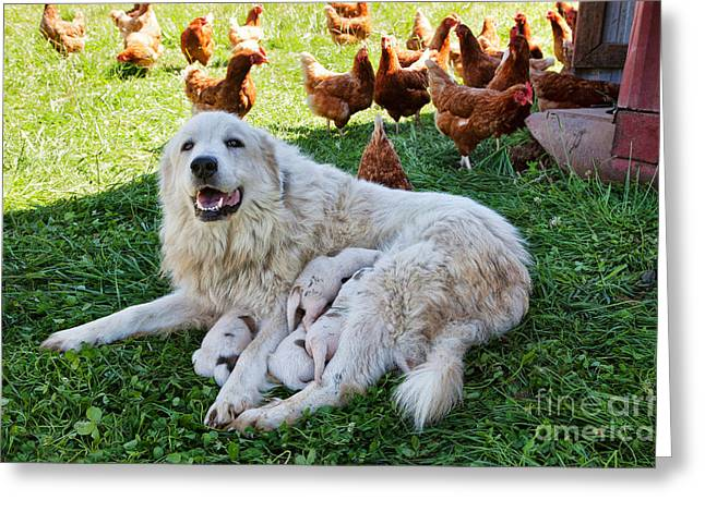 Great Pyrenees With Litter Greeting Card
