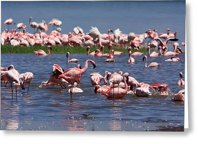 Great Rift Lake Flamingos  Greeting Card