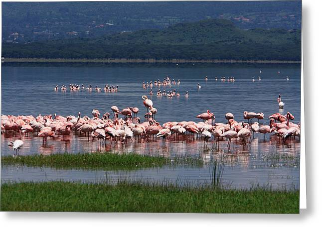 Great Rift Valley Flamingos  Greeting Card