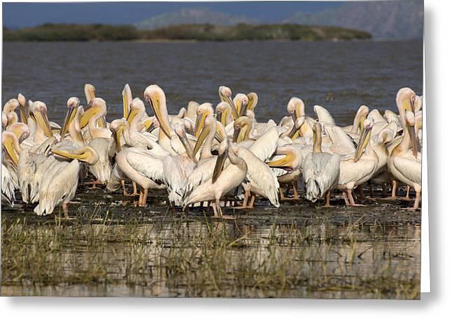 Great Rift Valley Pelicans Greeting Card by Aidan Moran