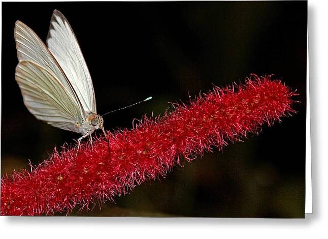 Greeting Card featuring the photograph Great Southern White by Judy Vincent