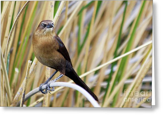 Great-tailed Grackle Greeting Card by Afrodita Ellerman
