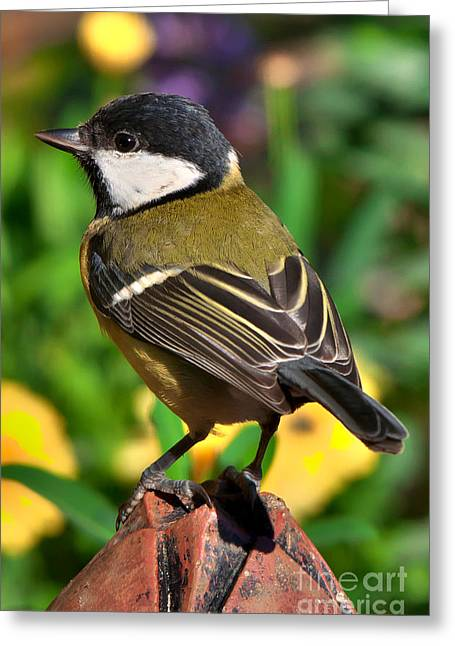 Great Tit British Bird Parus Major Greeting Card