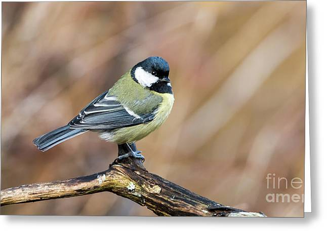 Great Tit In Fall Greeting Card by Torbjorn Swenelius