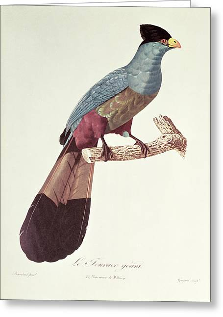 Great Touraco Greeting Card by Jacques Barraband