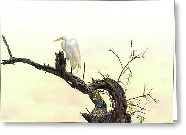 Great White Egret #2 Greeting Card by Donnie Smith