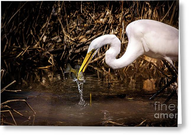 Great White Egret And Bluegill Greeting Card by Robert Frederick