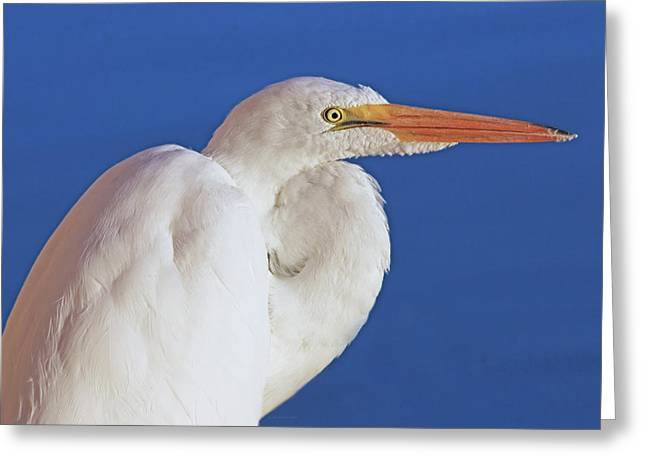 Greeting Card featuring the photograph Great White Egret Bird Portrait by Jennie Marie Schell