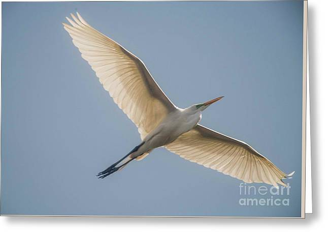 Greeting Card featuring the photograph Great White Egret by David Bearden