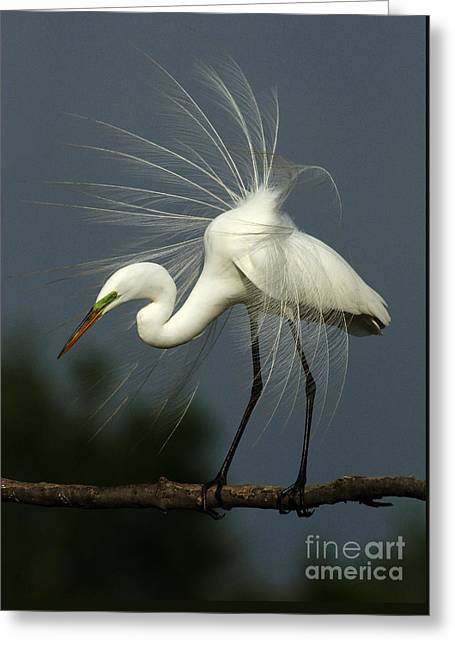 Majestic Great White Egret High Island Texas Greeting Card