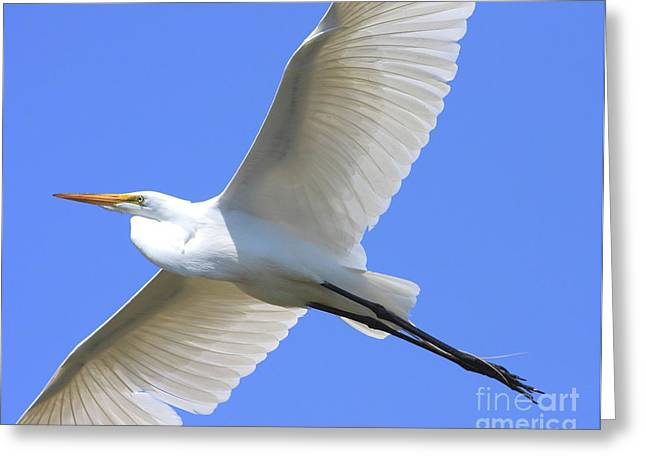 Great White Egret In Flight . 40d6850 Greeting Card by Wingsdomain Art and Photography