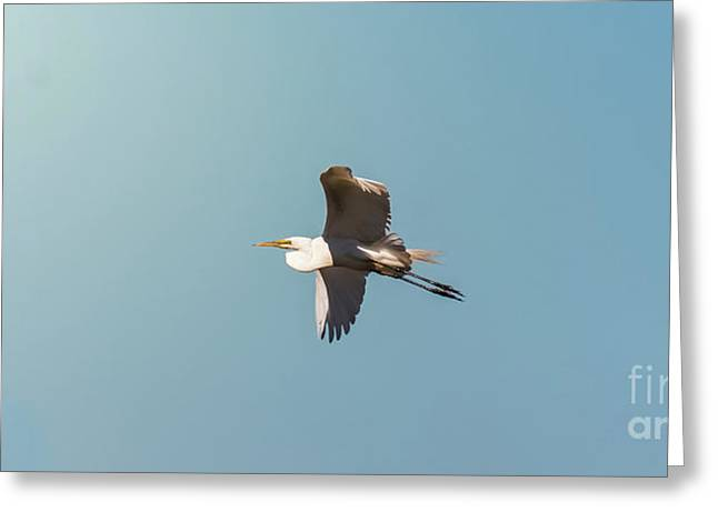 Great White Egret In Flight Greeting Card by Robert Frederick