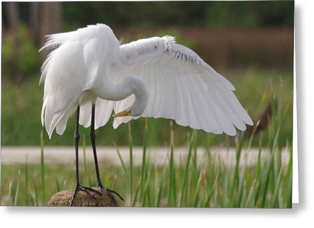 Great White Egret Greeting Card by John Adams