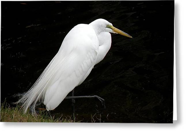 Great White Egret Greeting Card by Rosalie Scanlon