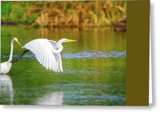 Great White Egrets Greeting Card by Mark Andrew Thomas
