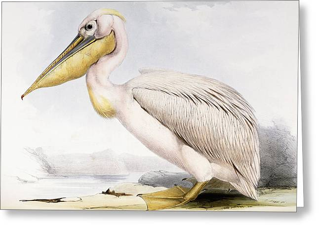 Great White Pelican Greeting Card by Edward Lear