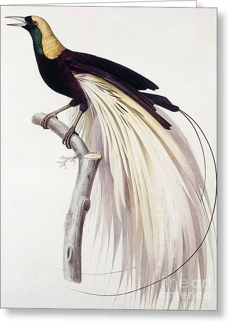 Greater Bird Of Paradise Greeting Card