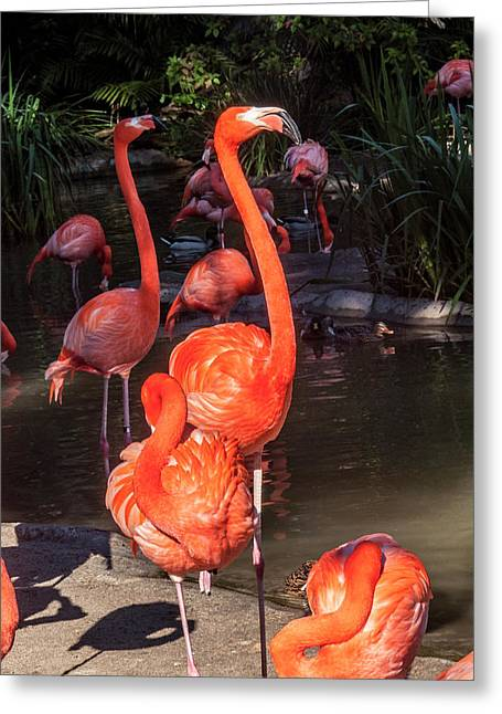 Greater Flamingo Greeting Card by Daniel Hebard