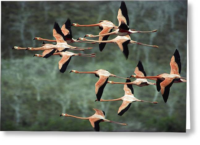 Greater Flamingos Greeting Cards - Greater Flamingo Phoenicopterus Ruber Greeting Card by Tui De Roy