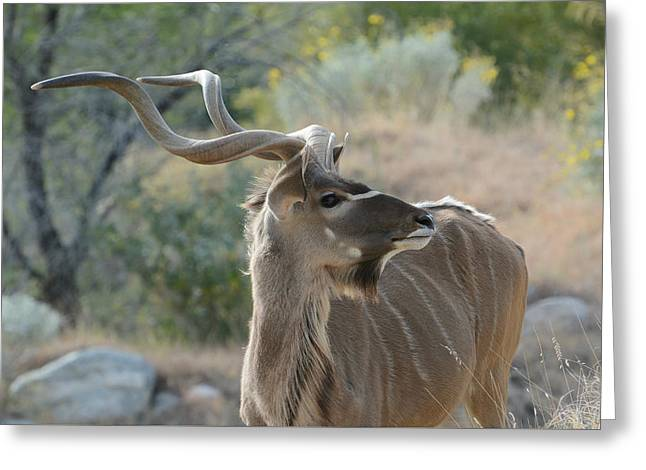Greeting Card featuring the photograph Greater Kudu 4 by Fraida Gutovich