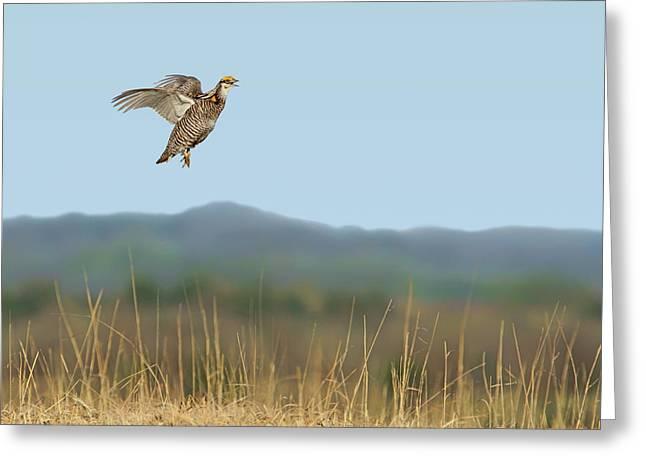 Greater Prairie Chicken - Flight Greeting Card