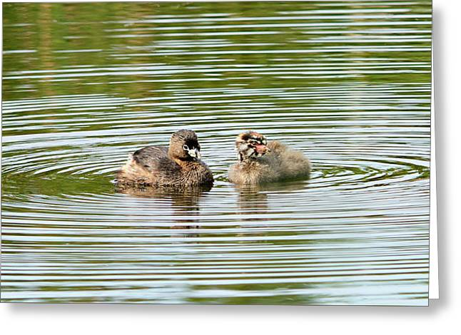 Grebes And Ripples Greeting Card by Marv Vandehey