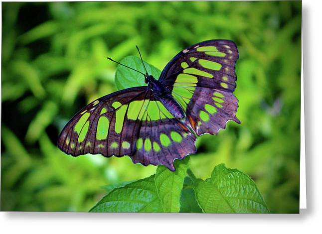 Green And Black Butterfly Greeting Card