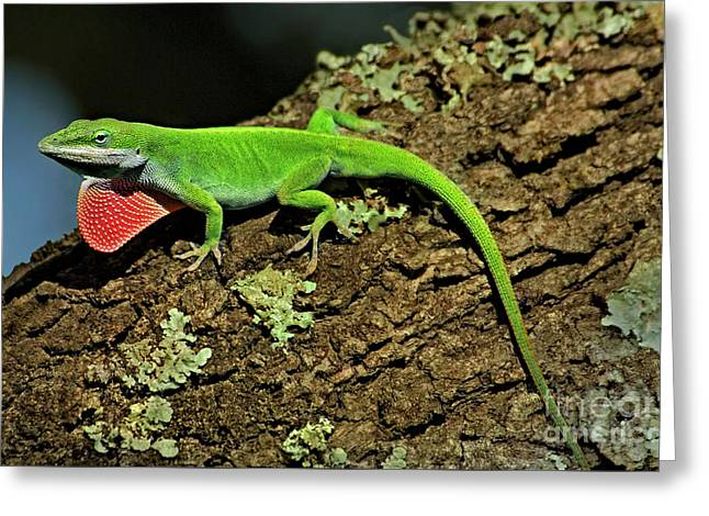 Green Anole Lizard Anolis Carolensis Wild Texas Greeting Card by Dave Welling