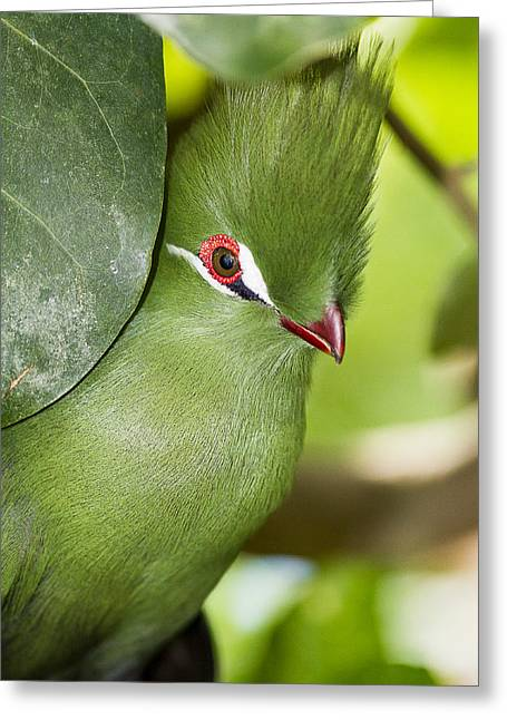 Green Turaco Bird Portrait Greeting Card