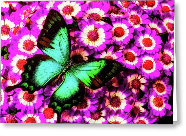 Green Butterfly On Pericallis Flowers Greeting Card by Garry Gay