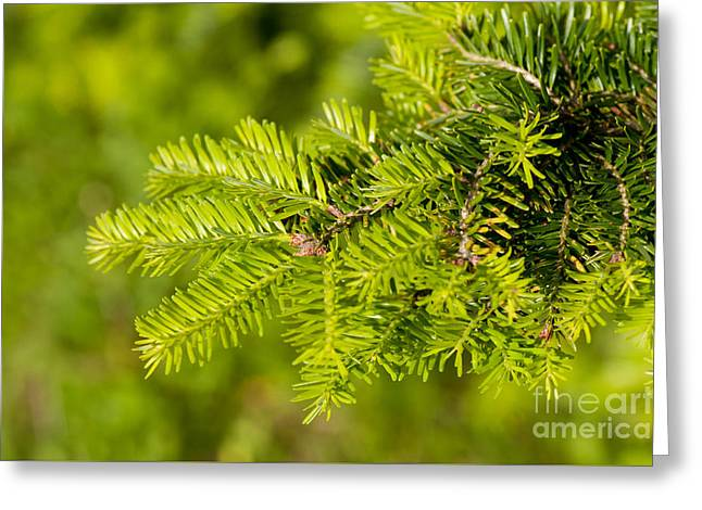 Green Coniferous Fresh Shoots Detail Greeting Card