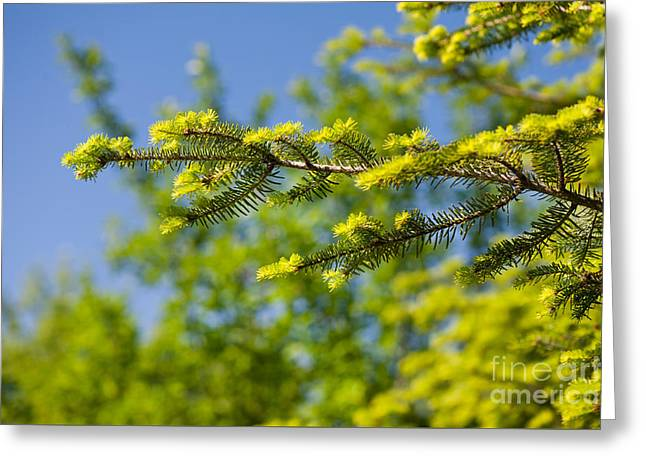Green Coniferous New Shoots Greeting Card