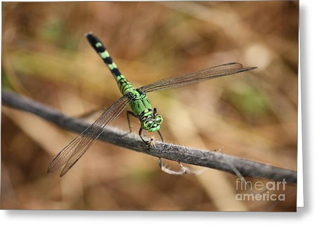 Flying Insects Greeting Cards - Green Dragonfly on Twig Greeting Card by Carol Groenen