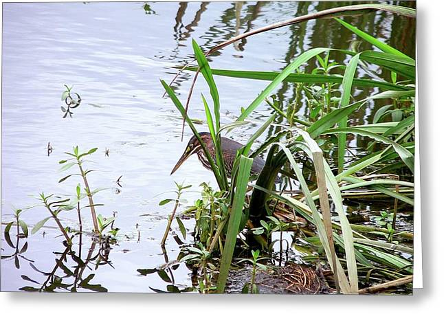 Green Heron Greeting Card by Al Powell Photography USA