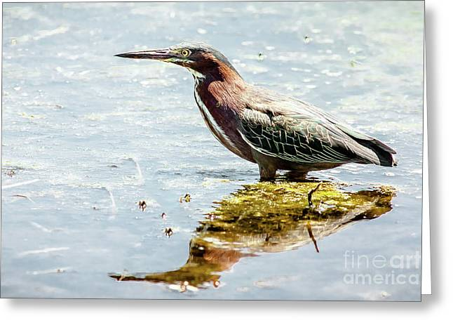 Green Heron Bright Day Greeting Card by Robert Frederick