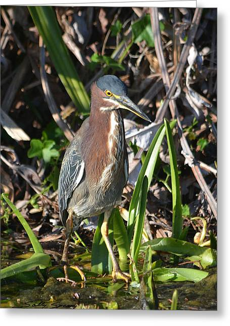 Green Heron Everglades Greeting Card